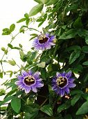 image of tendril  - Three Purple Haze Passiflora flower an evergreen tendril climbing vine - JPG