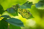 stock photo of green caterpillar  - Green leaves eaten by insect - JPG