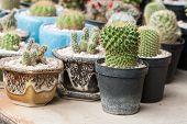 Mammillaria, Cactus
