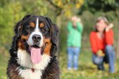 Beautiful Bernese Mountain Dog