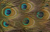 Peacock feathers abstract background