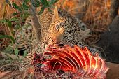 Male leopard (Panthera pardus) feeding on its prey, Sabie-Sand nature reserve, South Africa