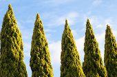 Row Of Tree Tops Set Against A Blue Sky