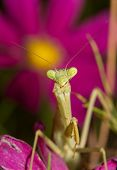 Praying Mantis waiting for prey, with a bright flower on background