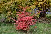 pic of barberry  - barberry bush with red leaves in autumn - JPG