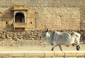 Indian cow on the background of the ancient building in Jaisalmer