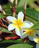 plumeria flowers closeup - tropical plant