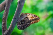 The Emperor Butterfly