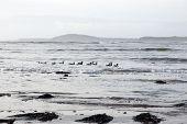Flock Of Ducks Swiiming Together
