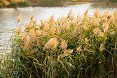 image of bulrushes  - Bulrush leaves and flowers close to the lake in autumn - JPG