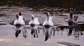 Family Of Geese Floating