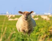 A Droll Ruminating Sheep
