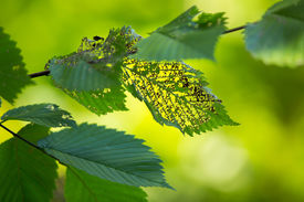 stock photo of photosynthesis  - Green leaves eaten by insect - JPG