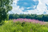 Flowered Willow-herb.