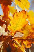 warm oak leaves poster