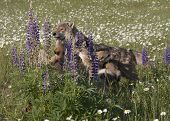 Wolf Family in Purple Lupine