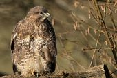stock photo of buzzard  - Common Buzzard on Branch - JPG
