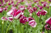 Pink beautiful tulips