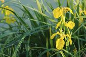 Iris flower in nature