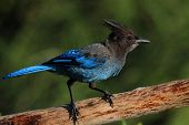 Stellers Jay (cyanocitta Stelleri) On A Perch