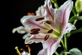 stock photo of stargazer-lilies  - Lilium cernuum is a species of lily native to Korea and eastern Siberia - JPG