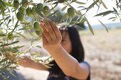 stock photo of olive branch  - Picking olives - JPG