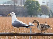 Seagull And A Duck Looking Left