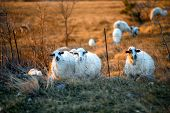 Sheeps on the field at sunset