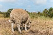 Sheep Standing In Summer Close-up