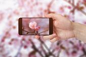 adult man hand taking photo of sakura