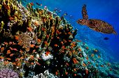 pic of sea-turtles  - Green Sea Turtle swimming along tropical coral reef Red Sea - JPG