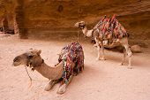 picture of dromedaries  - Two dromedary waiting to transport tourists into Petra in Jordan - JPG