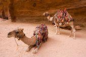 stock photo of dromedaries  - Two dromedary waiting to transport tourists into Petra in Jordan - JPG