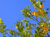 lemons on a branch.