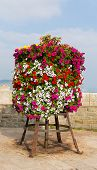 picture of petunia  - Colourful display of pink white red and yellow petunias on a stand at the seaside on a summer day - JPG
