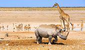 Giraffe Rhino & Springbok in Etosha