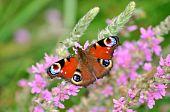 Mariposa pavo real europeo en flores rosadas