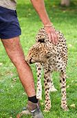 Cheetah As Pet