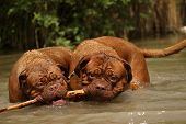 image of bordeaux  - Hot Summer Game Bordeaux mastiff in water - JPG
