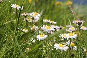 stock photo of bavaria  - Daisy flower on mountain Breitenstein in the Alps in Bavaria Germany - JPG
