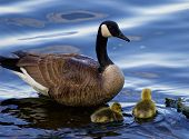 picture of mother goose  - Teaching to swim from the cackling goose - JPG