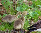 stock photo of mother goose  - Young cackling geese are eating the grass - JPG