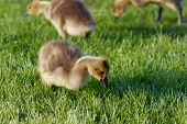 picture of mother goose  - The young geese are searching for the food - JPG
