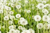 stock photo of dandelion seed  - Background field of a white seeding dandelions - JPG