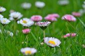 stock photo of bohemia  - view of flowering daisies South Bohemia Czech Republic - JPG