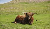 stock photo of highland-cattle  - Grazing Highland cattle in North York Moors National Park - JPG