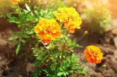 picture of marigold  - Bright marigold flowers on flowerbed - JPG