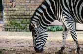 pic of camoflage  - Striped Black and white zebra at zoo - JPG