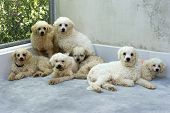 image of poodle  - Dog shelter white poodle dogs are huddled together - JPG