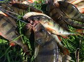 foto of fishermen  - Freshly caught perch - JPG